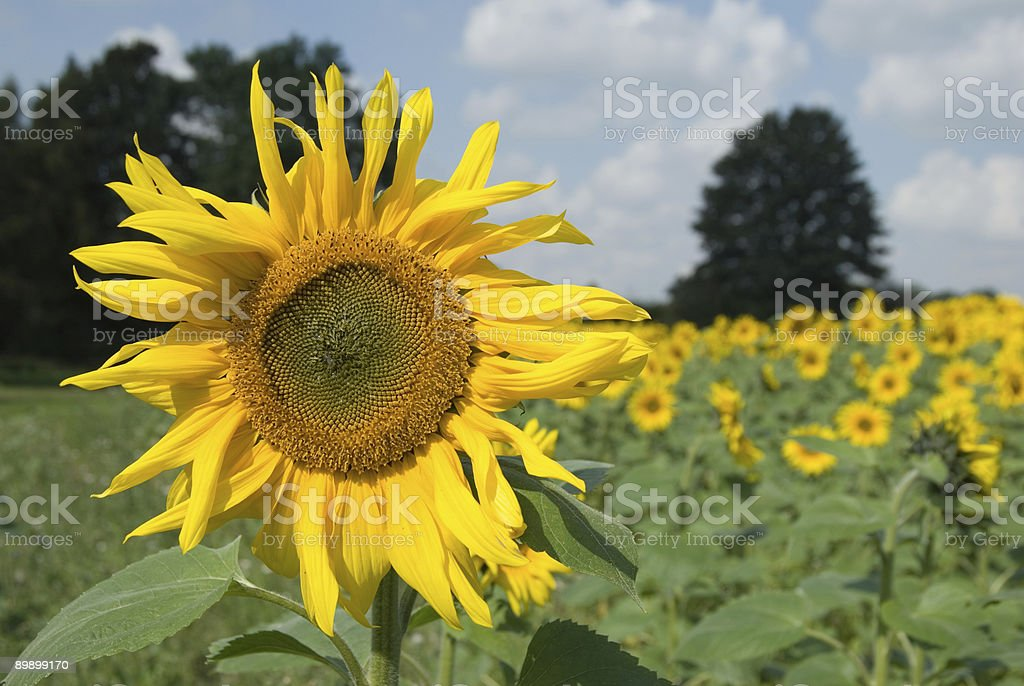 Front Sunflower royalty free stockfoto