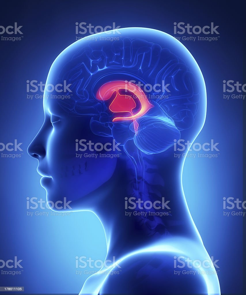 Front Ventricles Female Brain Anatomy Lateral View Stock Photo ...