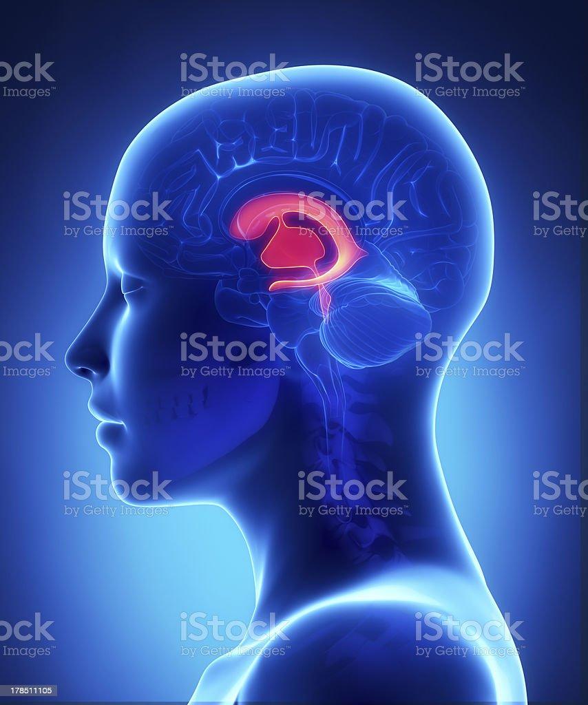 Fotografía de Ventrículos Frontalhembra Cerebro Anatomía Vista ...