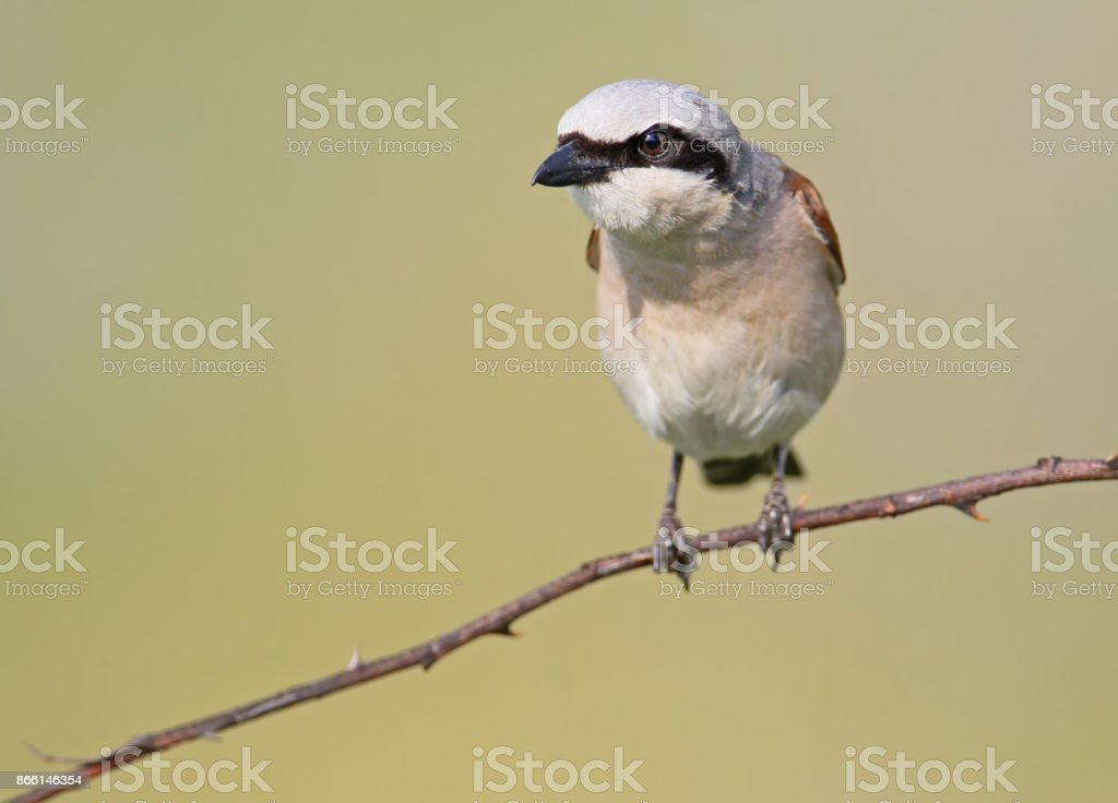 Front view close up portrait of male red backed shrike in soft morning light. stock photo
