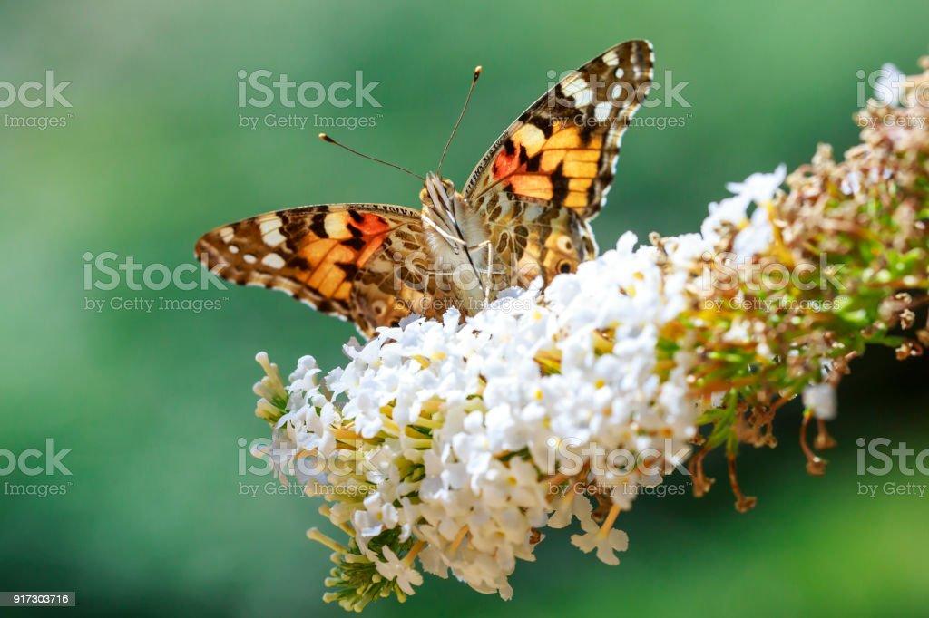 Vorderansicht Nahaufnahme Silber Gewaschen Fritillary Schmetterling