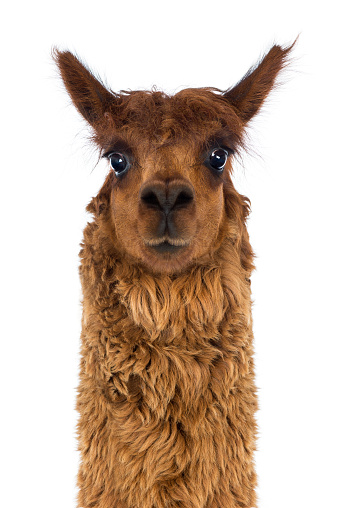A young golden colored alpaca on a farm with green pastures