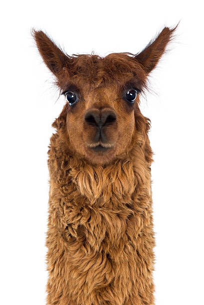 Front view Close-up of Alpaca against white background stock photo