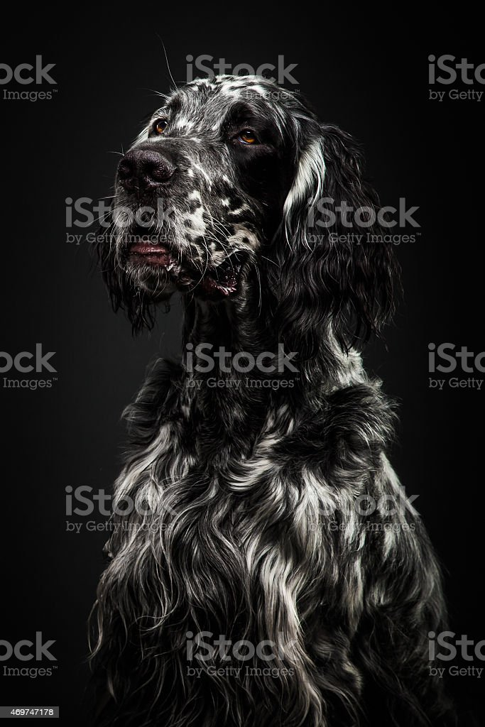 Front View  English Setter, sitting in front of dark background stock photo