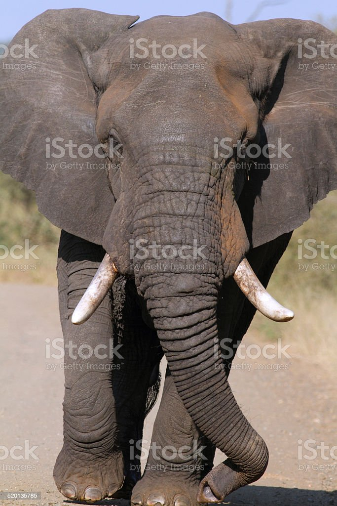 huge wild animal african elephant bull with curled trunk walking...