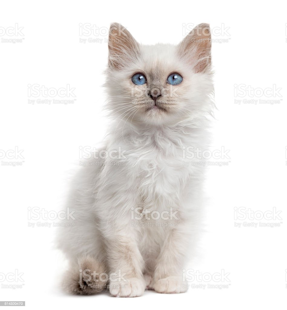 Front view of a Birman kitten sitting, isolated on white stock photo