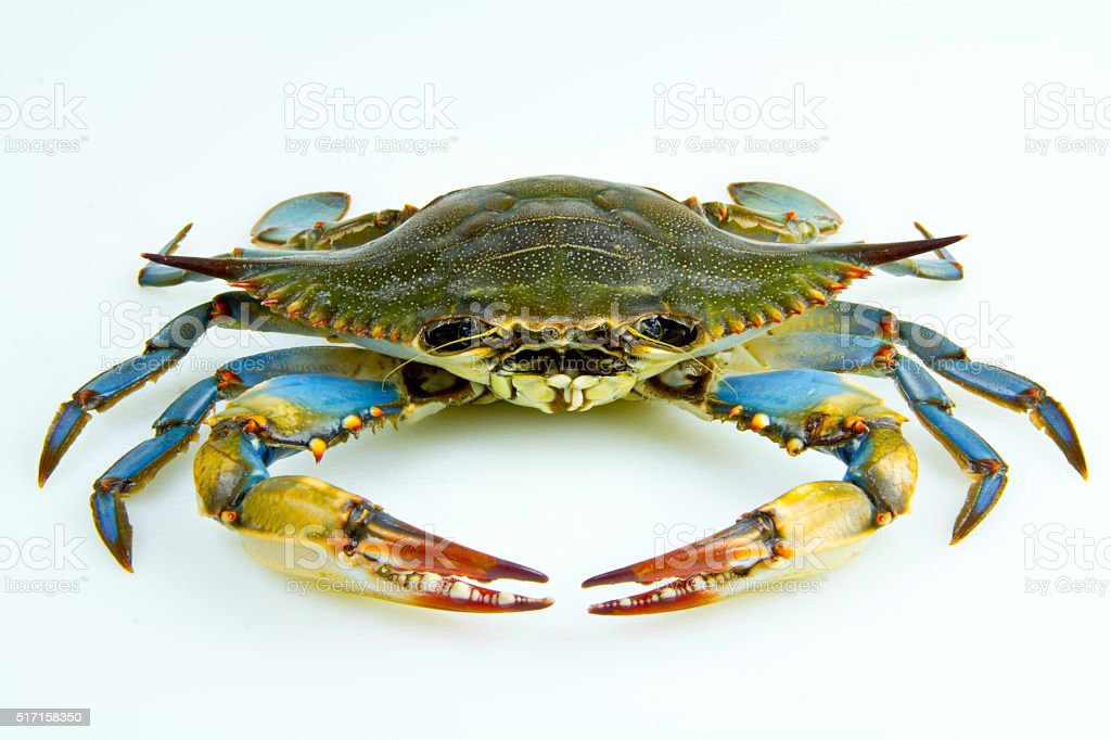 Front View of a Blue Crab stock photo