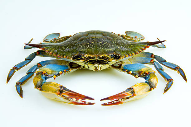 Image result for blue crab stock photo