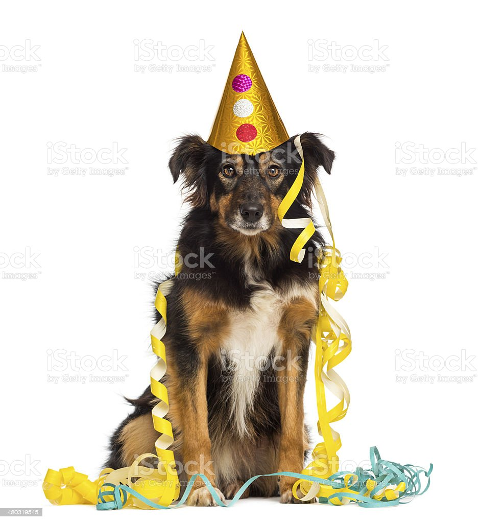 Front view of a Border collie partying, sitting stock photo