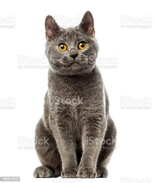 Front view of a chartreux kitten sitting 6 months old picture id480319547?b=1&k=6&m=480319547&s=612x612&h=ddj4ufwmnqq7xfl1bkpttw6857myr2l8npzjvc4zjpe=