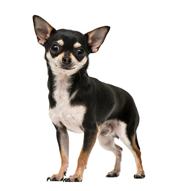 front view of a chihuahua puppy isolated on white - chihuahua chien de race photos et images de collection