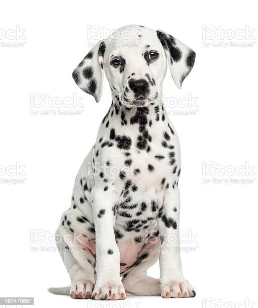 Front view of a dalmatian puppy sitting facing isolated picture id187470851?b=1&k=6&m=187470851&s=612x612&h=2cqxgxeodecxrbnzh3xgpq5t6rofylyyj59qpnnc9a0=