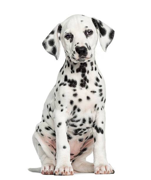 Front view of a dalmatian puppy sitting facing isolated picture id187470851?b=1&k=6&m=187470851&s=612x612&w=0&h=e6uzuyzcuujmkjf 03l7g4on5ztmnypwpsv  3zrfhe=