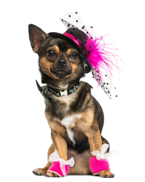 Front view of a dressed up chihuahua with hat 3 years old isolated on picture id889637994?b=1&k=6&m=889637994&s=612x612&w=0&h=x regwpq axv9pskir6olpj9rygkbzcbfwiltoda9nu=