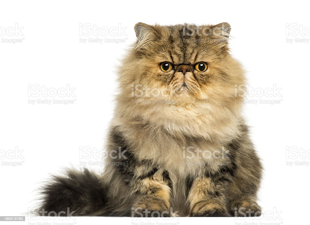 Front view of a grumpy Persian cat facing, looking stock photo