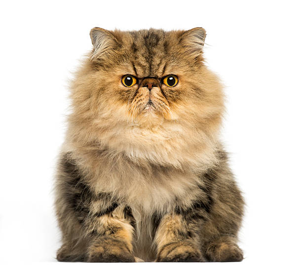 Front view of a grumpy persian cat facing looking picture id480493717?b=1&k=6&m=480493717&s=612x612&w=0&h=psv2uzkf8oubpivcjgcdbmtgssbhszwqbza2vfyiwxg=
