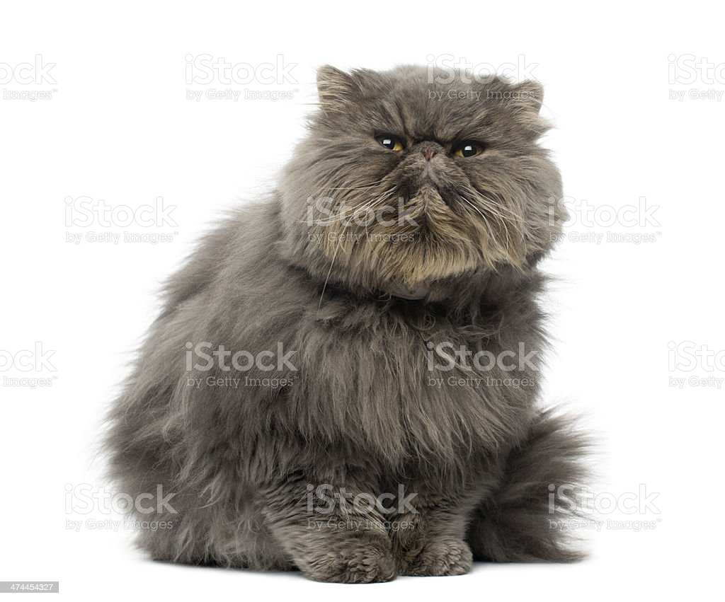 Front view of a grumpy Persian cat, sitting, looking up stock photo