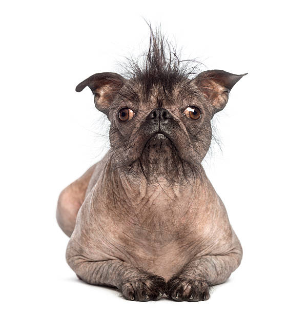 Front view of a Hairless Mixed-breed dog lying Front view of a Hairless Mixed-breed dog, mix between a French bulldog and a Chinese crested dog, lying and looking at the camera in front of white background ugliness stock pictures, royalty-free photos & images