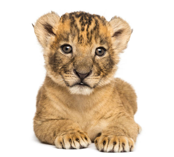 Front view of a Lion cub lying down, 4 weeks old, isolated on white stock photo