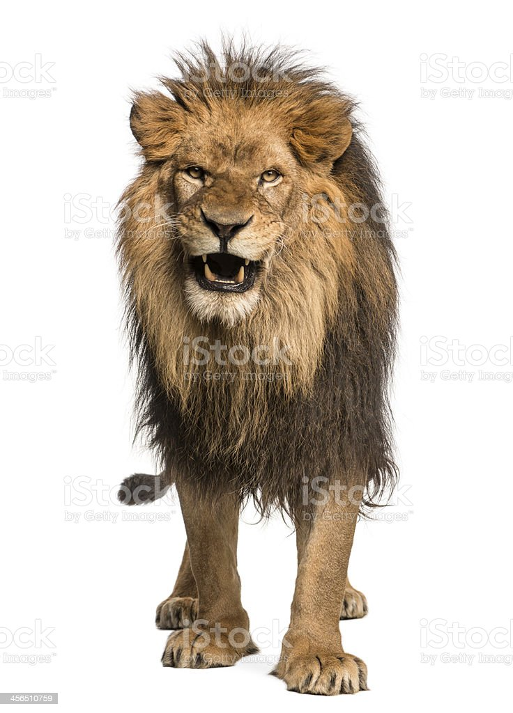 Front view of a Lion roaring, standing, Panthera Leo stock photo