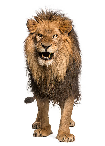 Front view of a Lion roaring, standing, Panthera Leo Front view of a Lion roaring, standing, Panthera Leo, 10 years old, isolated on white animal mouth stock pictures, royalty-free photos & images