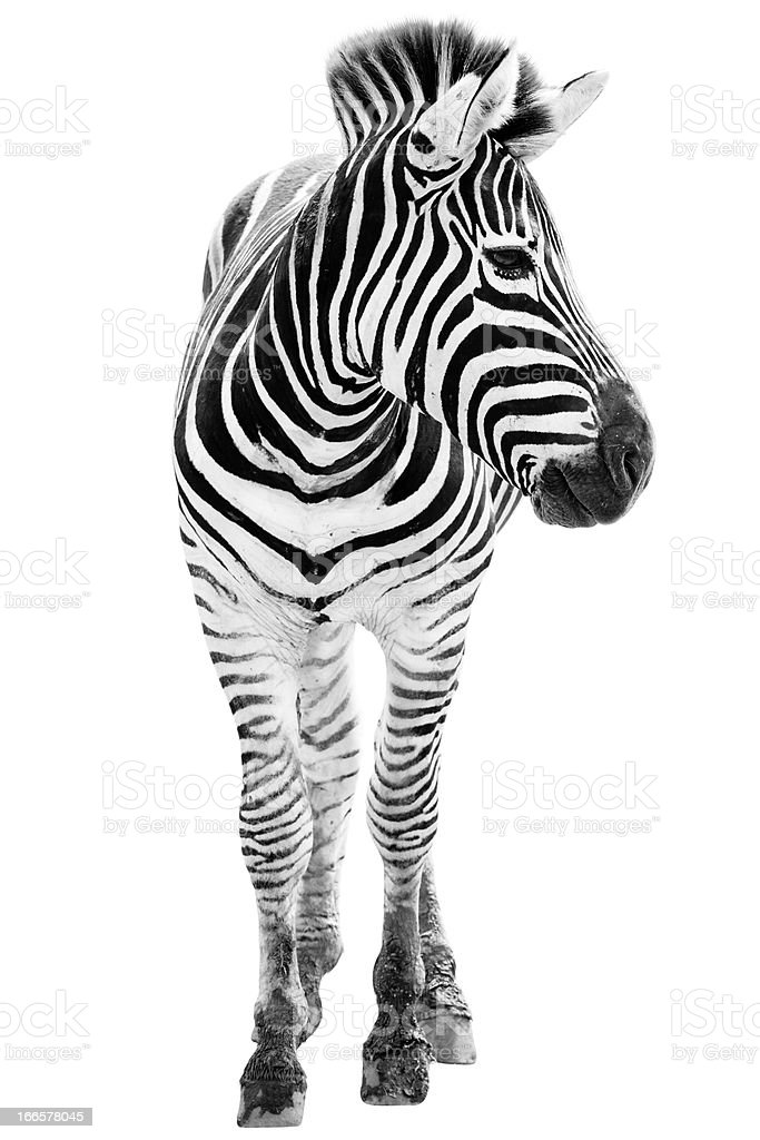 Front view of a male zebra with its head turned stock photo