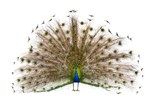 Front view of a peacock displaying tail feathers.
