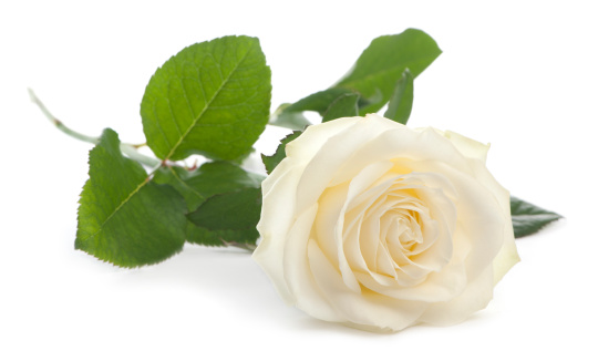 Front view of a Rose, lying, white background.