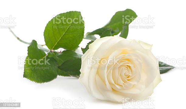Front view of a rose lying white background picture id121543481?b=1&k=6&m=121543481&s=612x612&h=isc5aki2cytsn1 hi41x zkxklb  midrlp5qvma3hq=
