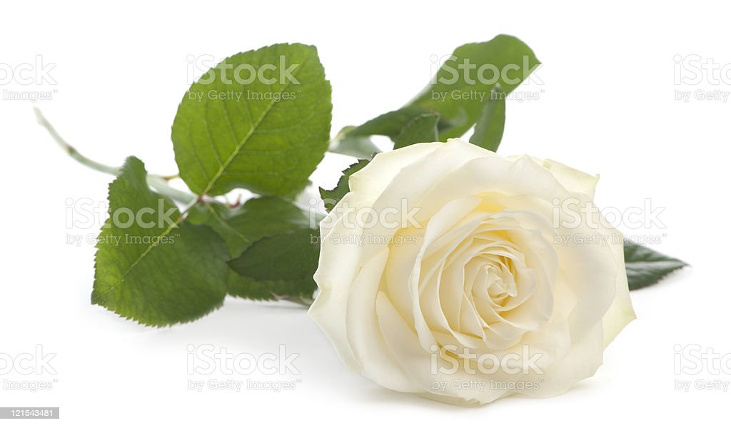 Front view of a Rose, lying, white background. stock photo
