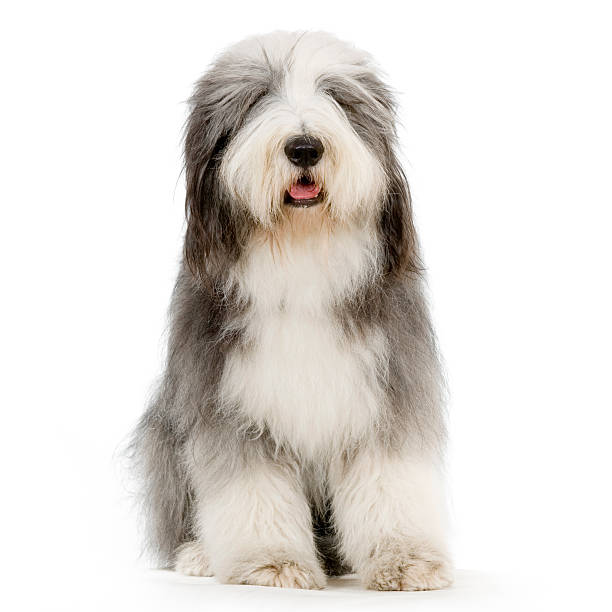 Front view of a white and gray seated Bearded Collie Bearded Collie in front of a white background. fluffy stock pictures, royalty-free photos & images