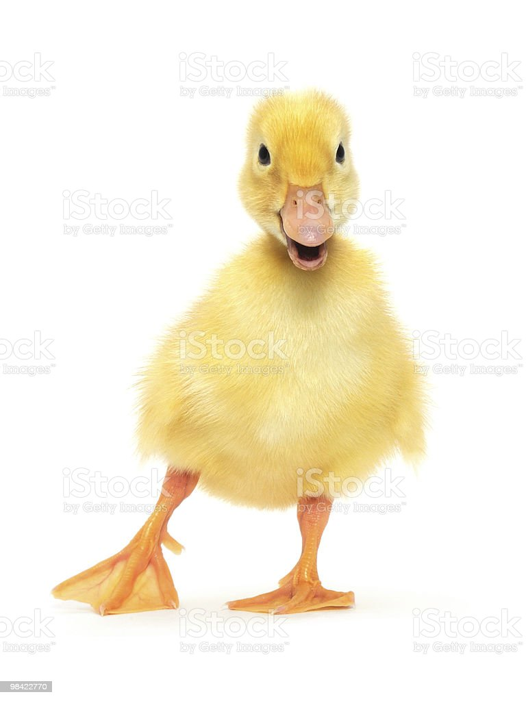 Front view of a yellow duckling with its mouth open stock photo