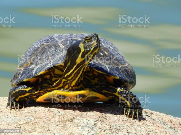 Front view of a yellowbellied slider turtle sunbathing picture id953264628?b=1&k=6&m=953264628&s=612x612&h=qnn10gs6nrgvo2y2pm6b21d4jgs9ha4zzuffodcovwg=