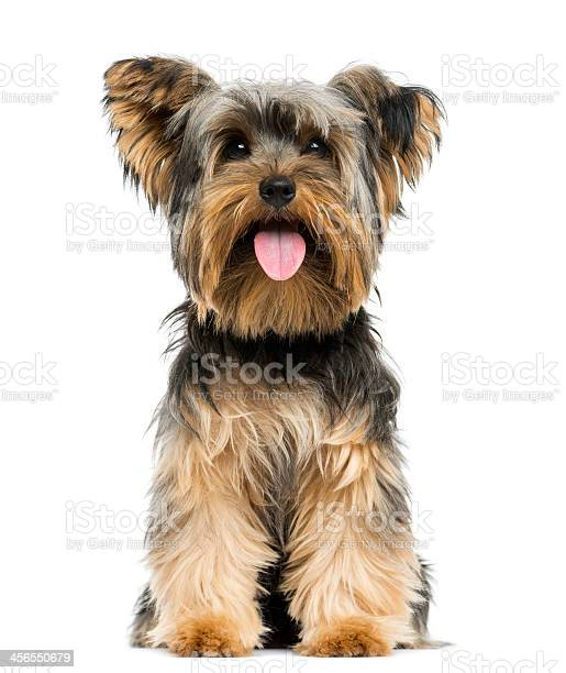 Front view of a yorkshire terrier sitting panting picture id456550679?b=1&k=6&m=456550679&s=612x612&h=sswjsiu4juvbmd2ybtcus7qhooomwhrqaahhsh3bzeq=