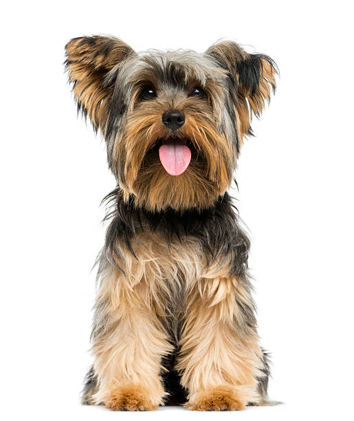 Front view of a Yorkshire Terrier sitting, panting Front view of a Yorkshire Terrier sitting, panting, 9 months old, isolated on white animal mouth stock pictures, royalty-free photos & images