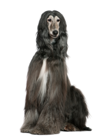 istock Front view of Afghan hound, sitting and looking away. 104631367