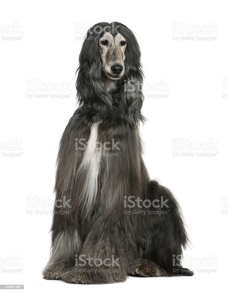 Front view of Afghan hound, sitting and looking away. stock photo