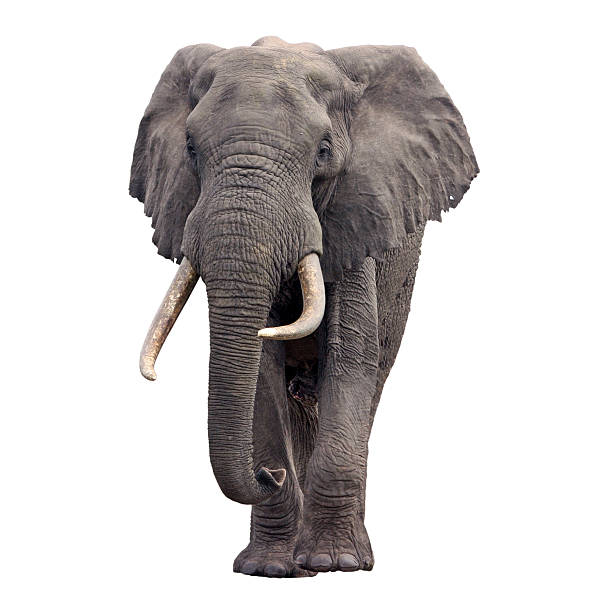 Vue de face d'un éléphant d'Afrique - Photo