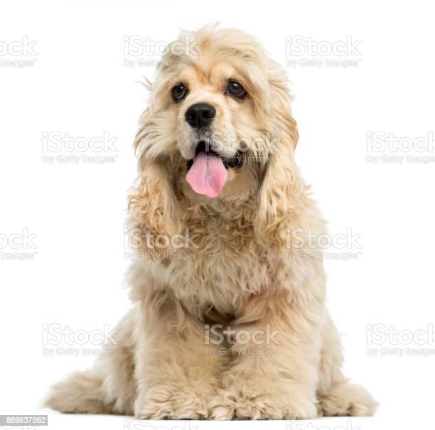 スパニエル 子犬 コッカー アメリカン