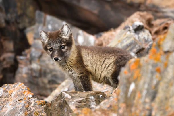 front view of an arctic fox cub, svalbard islands - raposa ártica imagens e fotografias de stock