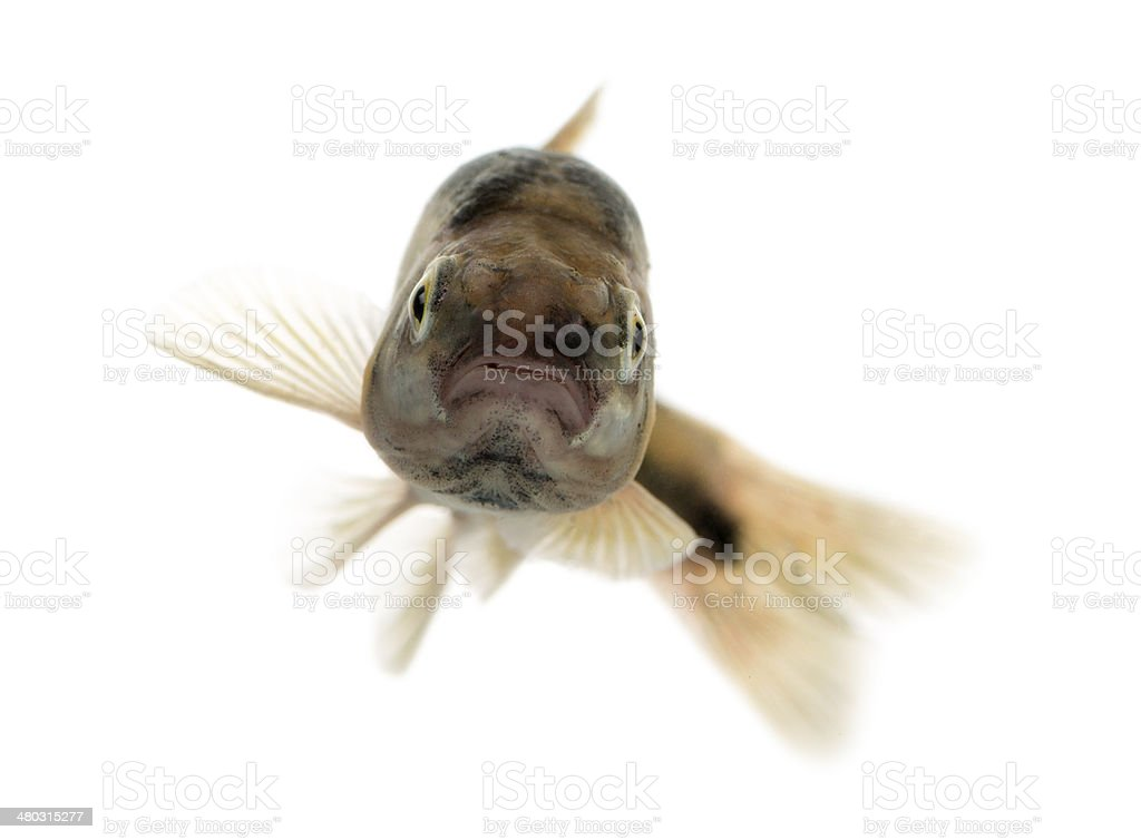Front view of an Eurasian minnow swimming stock photo