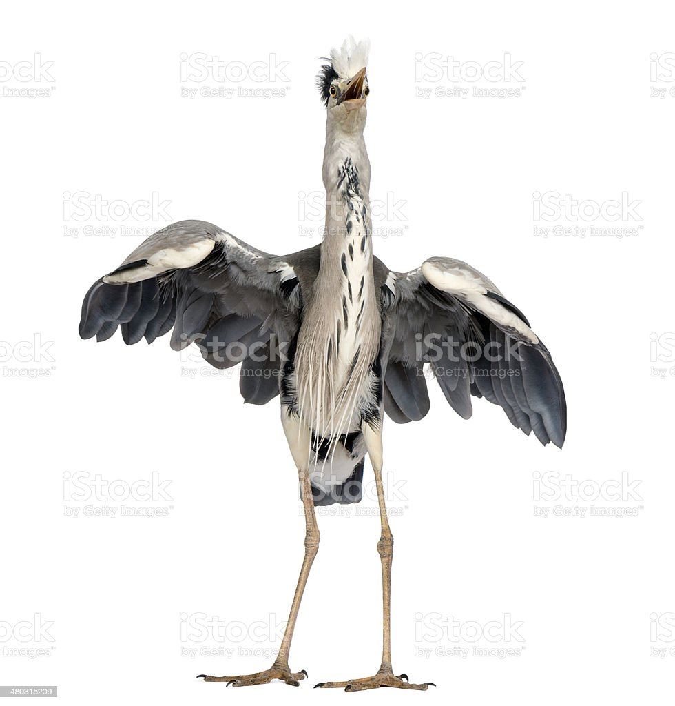 Front view of an Grey Heron doing a mating dance royalty-free stock photo