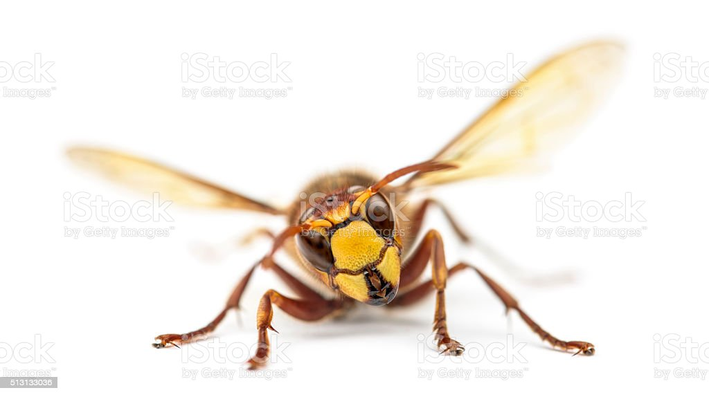 Front view of an Hornet, isolated on white stock photo