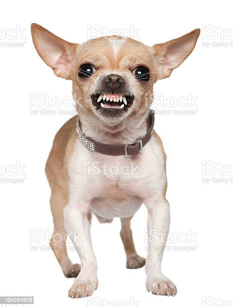 Front view of angry chihuahua growling standing picture id104254978?b=1&k=6&m=104254978&s=612x612&h=s5kxshbao6vjqaexiupsn5ldy7fjkzgfo5zxopjc3yu=