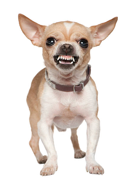 front view of angry chihuahua growling, standing. - aggression stock pictures, royalty-free photos & images