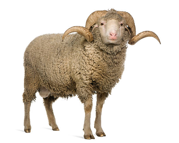 Front view of Arles Merino sheep, ram, standing.  merino sheep stock pictures, royalty-free photos & images