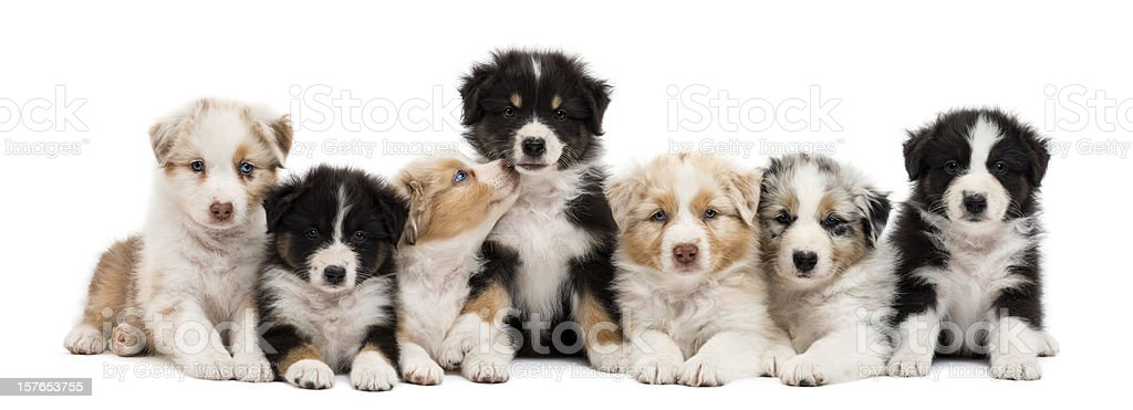 Front view of Australian Shepherd puppies, 6 weeks old stock photo