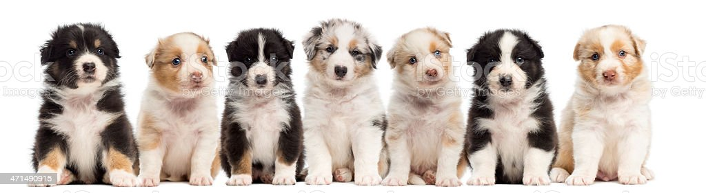 Front view of Australian Shepherd puppies, 6 weeks old, sitting stock photo