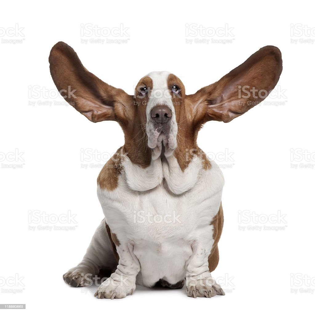 Front view of Basset Hound with ears up stock photo