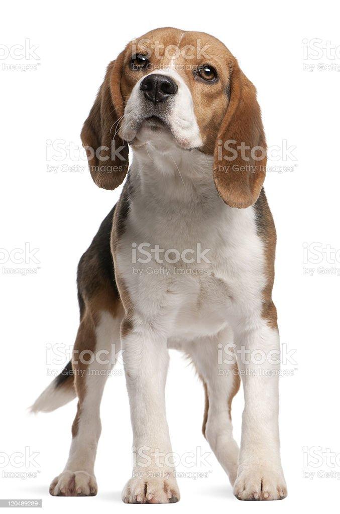 Vista frontal de Beagle, 1 año de edad, de pie, fondo blanco. - foto de stock